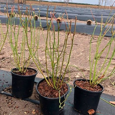 Young plantings 'Last Call'
